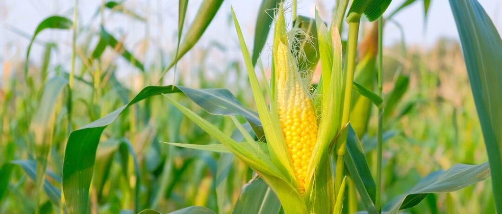 5 ações para aumentar o potencial produtivo de milho na safra verão comecar uma plantacao de milho